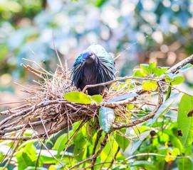 Nicobar Pigeon or Caloenas nicobarica bird