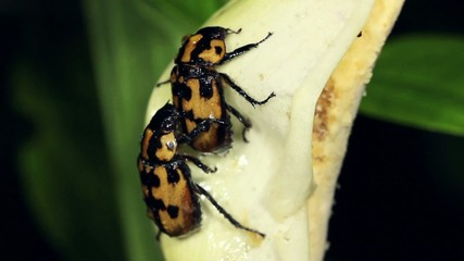 Beetles mating on a tropical Arum flower,  Ecuador