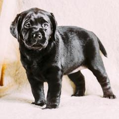 Beautiful Black Labrador Puppy Dog