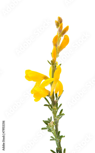 canvas print picture Genista microphylla