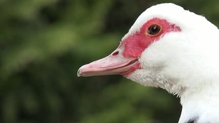 Ente schaut zu Seite und nach hinten