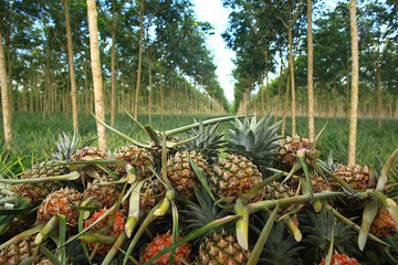 pineapple plantation in Thailand