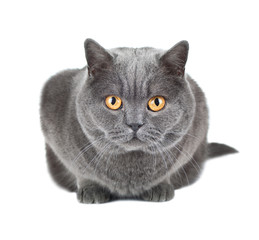 British cat isolated on white