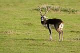 Male Black Buck 10251