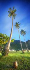 Coconut palms. Thailand