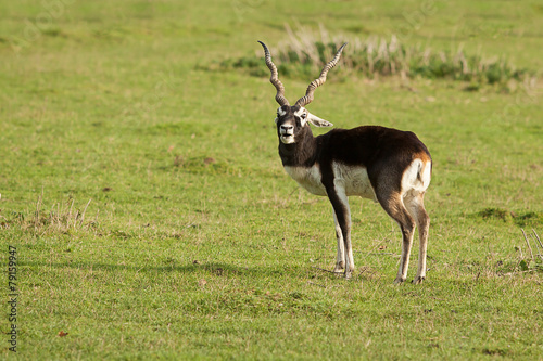 Male Black Buck 10251