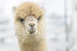 Very cute alpaca