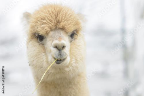 Foto op Aluminium Lama Very cute alpaca