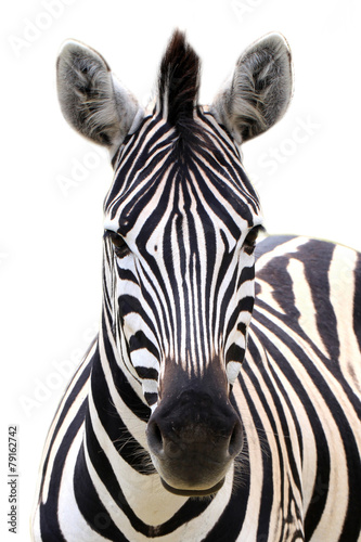 Foto op Canvas Zebra Zebra isolated on white