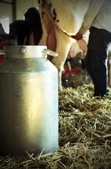 bucket to collect the milk in the barn with a cow in the backgro