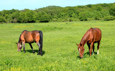 Two Horses on Green Pastures