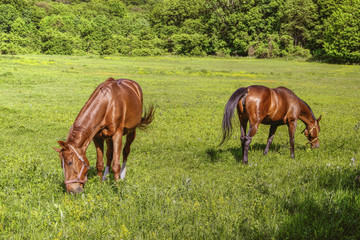 Two Horses with Bridles Pasture