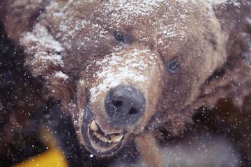 brown bear head portrait snow