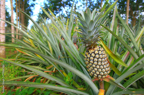 Leinwanddruck Bild pineapple plantation in Thailand