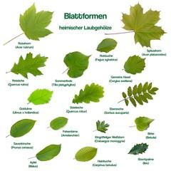 Blattformen einheimischer Laubgewächse