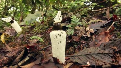 Strangled Stinkhorn (Staheliomyces cinctus), Ecuador