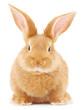 Rabbit - 79170514