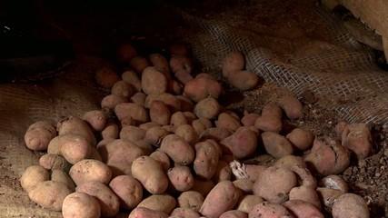 potato selection