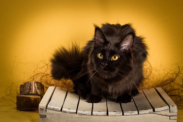 black maine coon cat on yellow  background