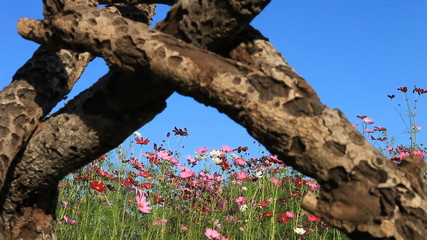 dolly underpass timber entrance to pink cosmos flowers