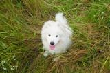 one samoed dog puppy white