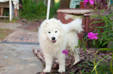 one samoed dog puppy white