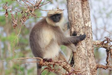 Langur sitting on a branch