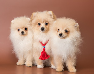 Three puppies of breed a Pomeranian spitz-dog in studio