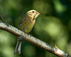 Yellowhammer (Emberiza citrinella).