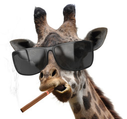Giraffe with cool sunglasses smoking a cuban cigar like a boss