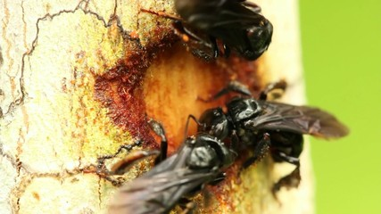 Sweat bees collecting bark for nest construction, Ecuador