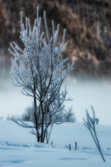Small tree frosted in the snow