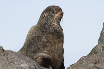 portrait of the northern fur seal who looks forward