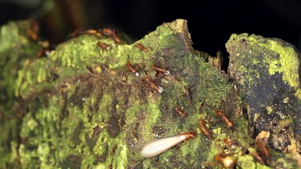 Trail of army ants (Eciton sp.) in the rainforest, Ecuador