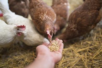 Hen Pecks