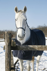 White gray stallion looking over paddock fence winter time