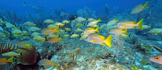 School of five-lined Snappers (Lutjanus quinquelineatus)