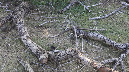 dolly scene video of dry timbers lying on grass, danger