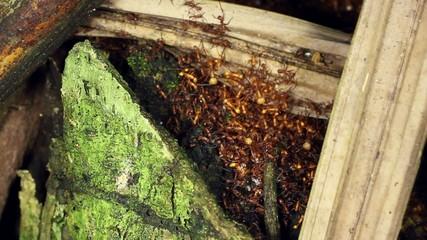 Army Ant (Eciton sp.) in their nest or bivouac, Ecuador