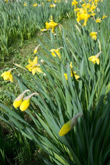 Daffodils in the flowerbed in April garden.