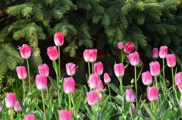 Violet tulips in a garden, on green background