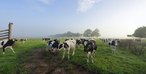 Foggy morning Brundee dairy pastures