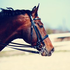 Portrait of a sports horse.