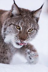 Eurasian Lynx in the snow eating