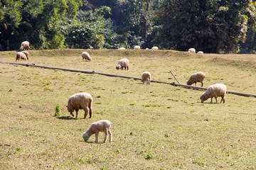 Sheep grazing in the farm background