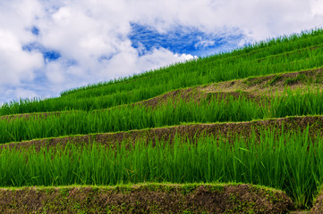 Rice fields on terraced of Bali and beautiful sky