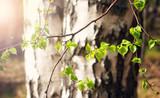 Fototapeta New birch leaves