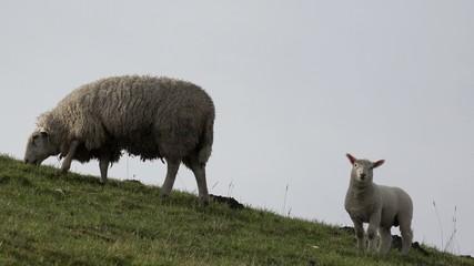 Lamm und Schaf auf dem Deich