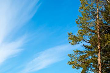 Pine tree  the blue sky background