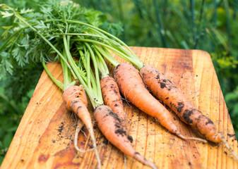 Freshly dug carrots